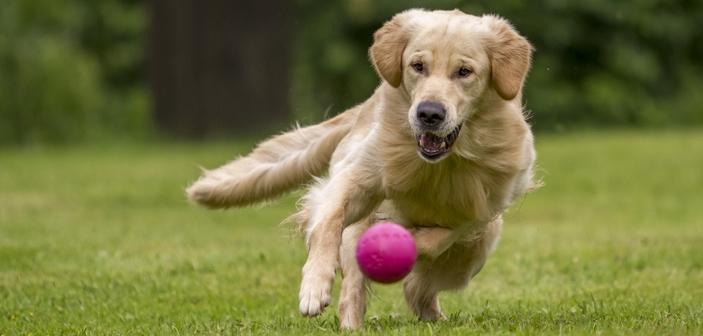 For højt aktivitetsniveau kan stresse din hund